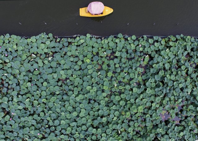 A boat travels past a part of the West Lake covered by lotus leaves, in Hangzhou, Zhejiang province, China, July 2, 2015. (Photo by Reuters/Stringer)