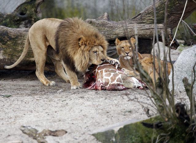The carcass of Marius, a male giraffe, is eaten by lions after he was put down in Copenhagen Zoo on Sunday, Feb. 9, 2014. (Photo by Rasmus Flindt Pedersen/AP Photo/Polfot)