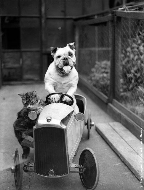1933: A cat and a bulldog in a toy car