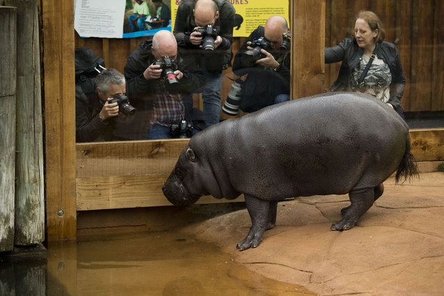 """Photographers take pictures of """"Thug"""" the Pygmy Hippo exploring his new enclosure during a photocall at the zoo in London, Thursday, April 3, 2014. Thug and his lifelong Pygmy Hippo companion Nicky were unveiled to the media in their new home Thursday, which opens for public viewing on April 5 as part of the zoo's """"Into Africa"""" exhibit. (Photo by Matt Dunham/AP Photo)"""