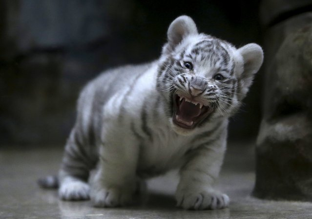 A newly born Indian white tiger cub yawns in its enclosure at Liberec Zoo, Czech Republic, April 25, 2016. (Photo by David W. Cerny/Reuters)