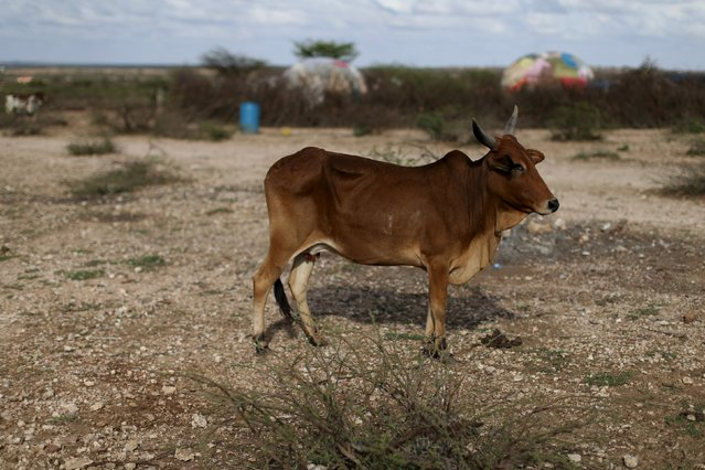 A malnourished cow stands in a field near the village of Botor, Somaliland April 16, 2016. (Photo by Siegfried Modola/Reuters)