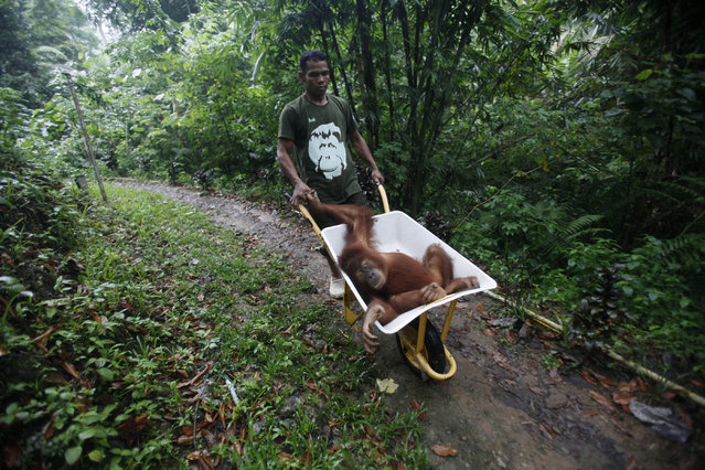 A worker of Sumatran Orangutan Conservation Programme wheels a tranquilized Sumatran orangutan as it's being prepared to be released into the wild at a rehabilitation center in Kuta Mbelin, North Sumatra, Indonesia, Friday, July 10, 2015. (Photo by Binsar Bakkara/AP Photo)