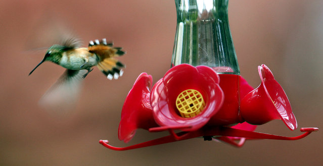 A hummingbird makes an approach to a handy feeder on Monday, May 5, 2014 in Thurston County, Wash. (Photo by Steve Bloom/AP Photo/The Olympian)