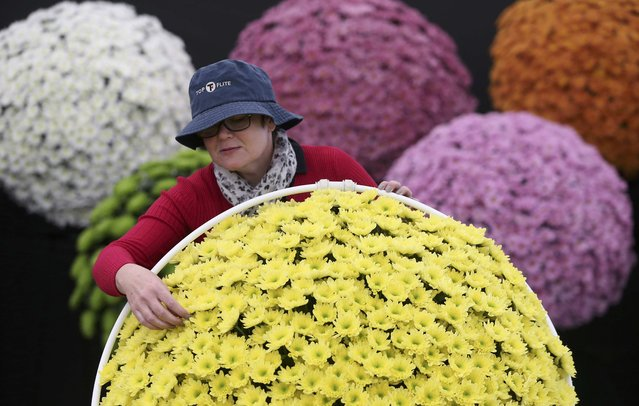 A woman adjusts display of chrysanthemums during preparations for the RHS Chelsea Flower Show in London, Britain May 21, 2016. (Photo by Neil Hall/Reuters)
