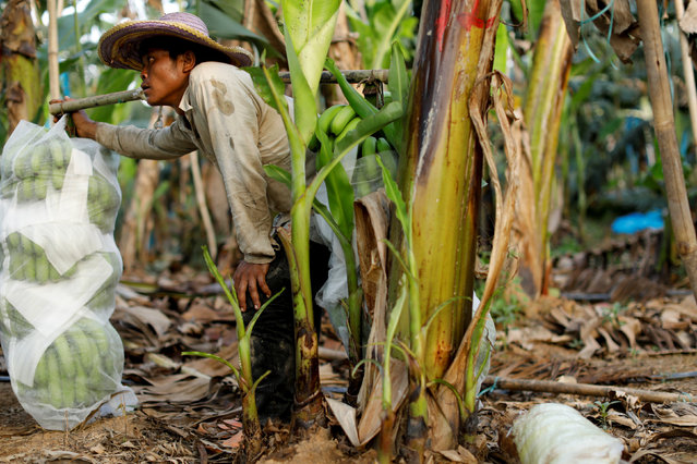 A worker pauses while harvesting bananas at a banana plantation operated by a Chinese company in the province of Bokeo in Laos April 25, 2017. (Photo by Jorge Silva/Reuters)