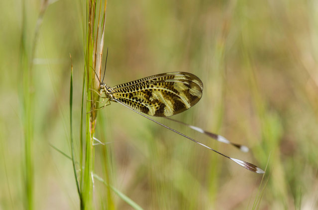 Thread-winged lacewing – wood fairy (Nemoptera bipennis) – insect on grass in Andalucia, Spain. (Photo by Perry van Munster/Alamy Stock Photo)