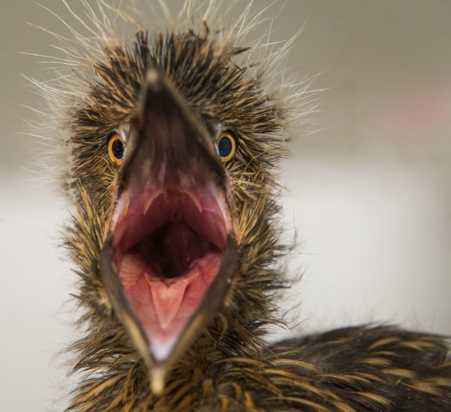 A baby Black-crowned Night Heron squawks in its incubator while being cared for at City Wildlife rescue and rehabilitation center in Washington, DC on May 31, 2017. The heron is one of several that have been brought to CW by the staff at The National Zoo over the past few years. The heron is a native bird and has made an established rookery inside the zoo grounds over a hundred years ago.  Every year at this time, some of the chicks get pushed or fall out of the nest and require human care.  Because the birds are native and not part of the Smithsonian collection, they partnered with CW to rehabilitate the herons for re-release back to the flock inside Zoo. They're reintroduced back to their flock so that they can migrate together in the Fall. The Black-crowned heron usually migrates from the DC area down to southeast North Carolina, some going as far as Jacksonville, FL in winter. The Black-crowned heron is the species of greatest conservation need in the District of Columbia because their numbers are in such rapid decline due to habitat loss. (Photo Linda Davidson/The Washington Post)