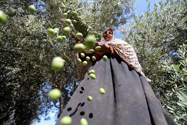 A Palestinian woman sorts freshly picked olives at a farm in the central Gaza Strip on October 8, 2019. (Photo by Ibraheem Abu Mustafa/Reuters)