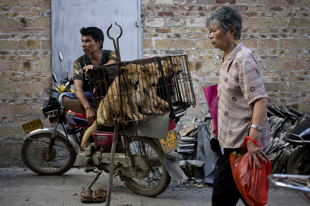 A woman walks past a dog vendor waits for buyers next to the dogs in a cage for sale at a market during a dog meat festival in Yulin in south China's Guangxi Zhuang Autonomous Region, Tuesday, June 21, 2016. (Photo by Andy Wong/AP Photo)