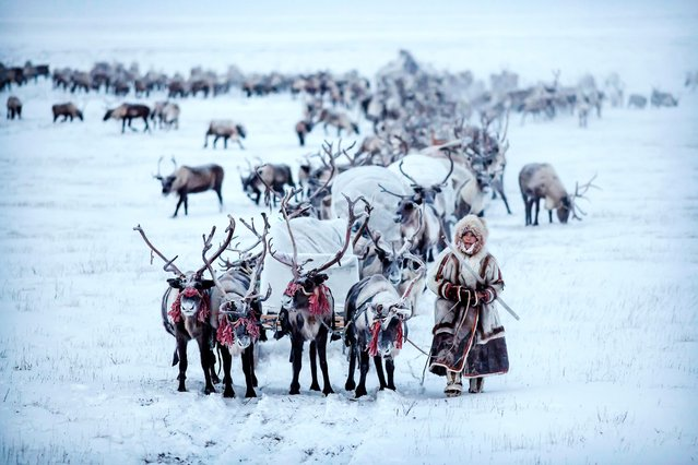 One of the younger members of the Nenets tribe walks with the herd behind him in Siberia, December 2016. (Photo by Timothy Allen/Barcroft Productions)