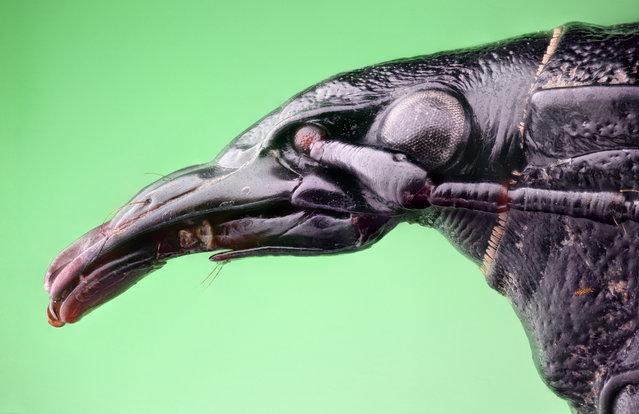 Studio stack: The Raven. Cychrus caraboides, Carabidae.