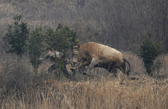 A cow, which escaped from a truck, attacks a farmer trying to catch it in Liangdun village of Nangang township, Anhui province, China, December 2013. The cow attacked several farmers before being shot dead by policemen, local media reported. (Photo by Reuters/China Daily)