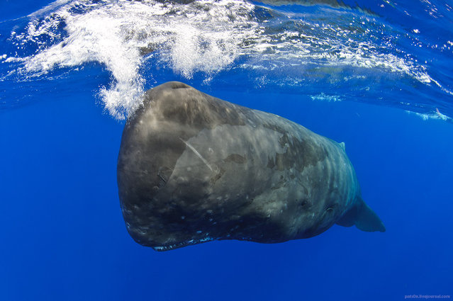 """""""Sperm whale getting closer to camera, Ogasawara Islands, Japan. As living submarine gets closer he is starting to use sonar to scan my body to understand what I'm – experience comparable to the one of standing next to the very powerful sub-woofer in dance club ! ^_^"""". (Alexander Safonov)"""