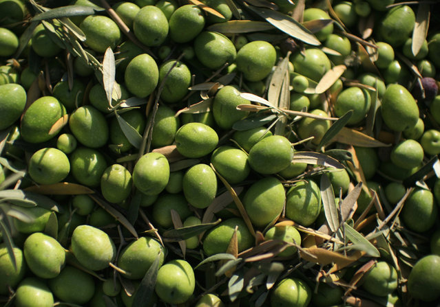 Olives are seen in an olive tree field in La Rinconada, near the Andalusian capital of Seville September 24, 2012. (Photo by Marcelo del Pozo/Reuters)
