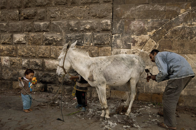 In this Saturday, March 8, 2014 photo, animal barber Mohamed Mahmoud works on a donkey as his children play nearby his makeshift shop in the shadow of the medieval aqueduct in Cairo, Egypt. (Photo by Maya Alleruzzo/AP Photo)