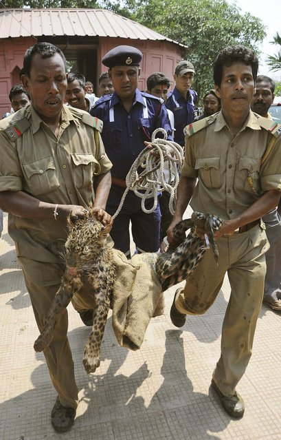 Forest officers carry a tranquilized leopard after rescuing it from a well on the premises of the Kamakhya temple in Gauhati, India, Thursday, April 4, 2013.  According to locals, the leopard fell into the well while scouring for food. (Photo by Anupam Nath/AP Photo)