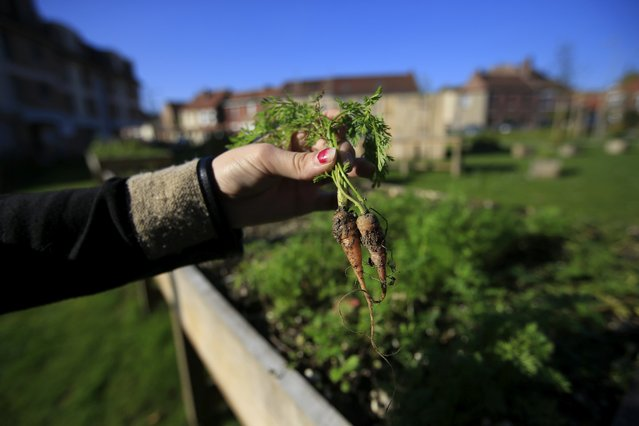 A resident holds carrots harvested in a shared flower and vegetable garden installed in the city center in Loos-en-Gohelle, northern France November 1, 2015. (Photo by Pascal Rossignol/Reuters)