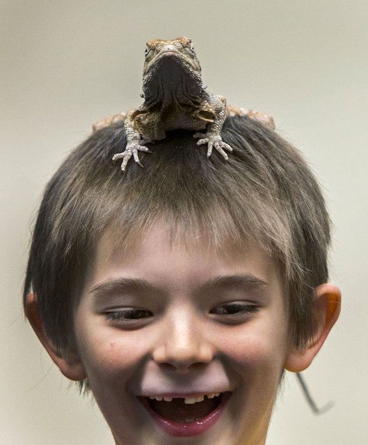 Brennan Vinje laughs while having a lizard on top of his head during a reptile-based demonstration by Richard Ritchey at the Springfield Public Library in Springfield, Ore., Tuesday, December 30, 2014. Ritchey who is based in Molalla, Ore., has been showing snakes and reptiles for 20 years and does about 500 shows each year with snakes and lizards. (Photo by Andy Nelson/AP Photo/The Register-Guard)