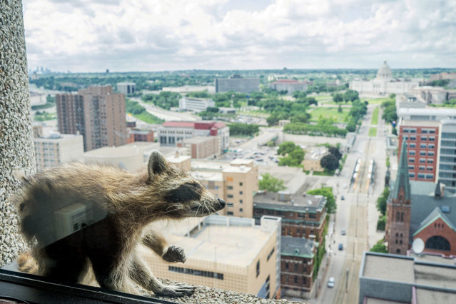 A raccoon scratches herself on the window sill of the Paige Donnelly Law Firm on the 23rd floor of the UBS Plaza building in St. Paul, Minnesota, U.S., June 12, 2018, in this image obtained from social media. (Photo by Evan Frost/MPR News via Reuters)