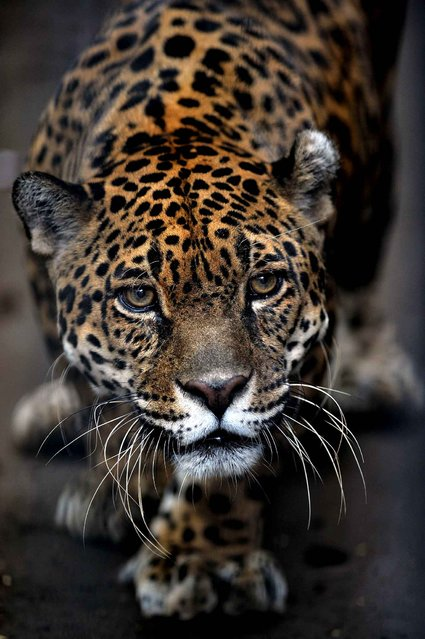 A jaguar looks around at the Simon Bolivar Zoo in San Jose on July 28, 2013. (Photo by Hector Retamal/AFP Photo)