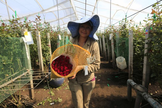 A Colombian flower grower picks roses ahead of Valentine's Day in Facatativa, January 29, 2015. (Photo by John Vizcaino/Reuters)
