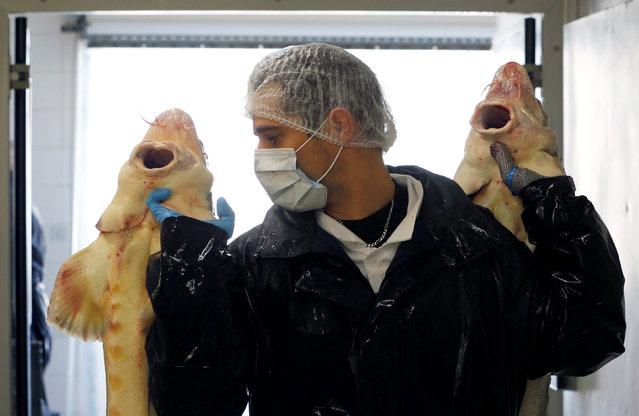 "An employee holds female sturgeons at the caviar fish farming company ""Sturgeon"", the leading French producer, in Saint-Genis-de-Saintonge, France, November 8, 2016. (Photo by Regis Duvignau/Reuters)"