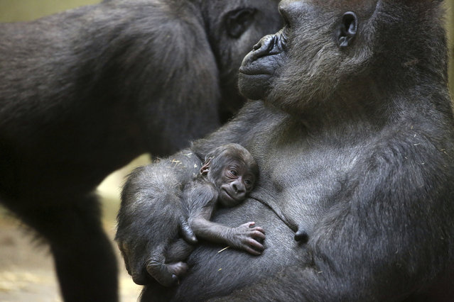 A western lowland gorilla mother holds her baby after giving birth at Artis zoo in Amsterdam, Netherlands on October 18, 2018. (Photo by Ronald van Weeren/AP Photo)