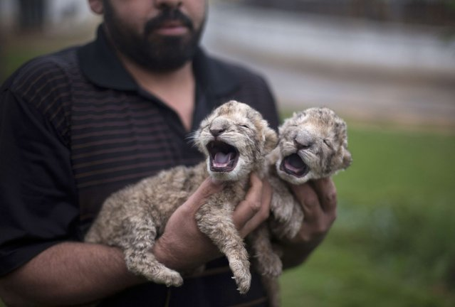 Two-day-old lion cubs Fajr and Sjel are seen at a zoo in the northern Gaza Strip town of Beit Lahia, on November 19, 2013. The cubs' mother and father were smuggled into the Gaza Strip from Egypt four years ago to live in a Hamas-run public zoo. It is the first time in years that cubs are born in the Palestinian coastal enclave. (Photo by Mohammed Abed/AFP Photo)