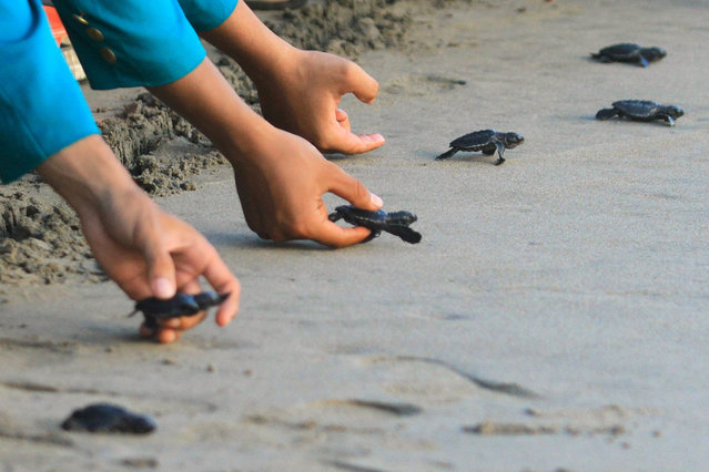 In this picture taken on January 10, 2019 students and children release baby turtles into their habitat, on the turtle conservation Aroen Meubanja beach, in Aceh Jaya, Aceh province. The release of the turtle is an effort to save and restore the endangered turtle population in Indonesia. (Photo by Januar/AFP Photo)