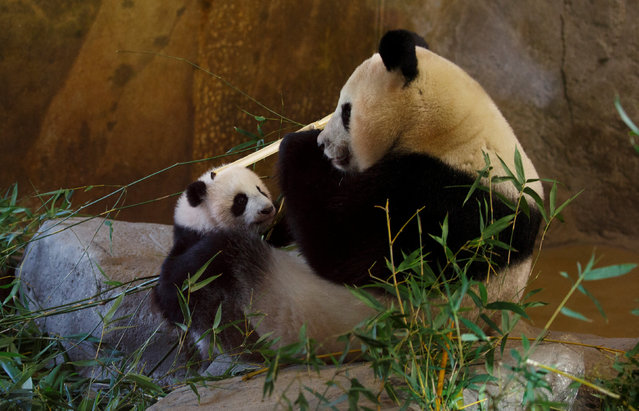 Chulina, a female panda baby, that was born last August, stands beside its mother Hua Zui Ba inside their indoor enclosure during its public presentation at a zoo in Madrid, Spain, January 12, 2017. (Photo by Sergio Perez/Reuters)