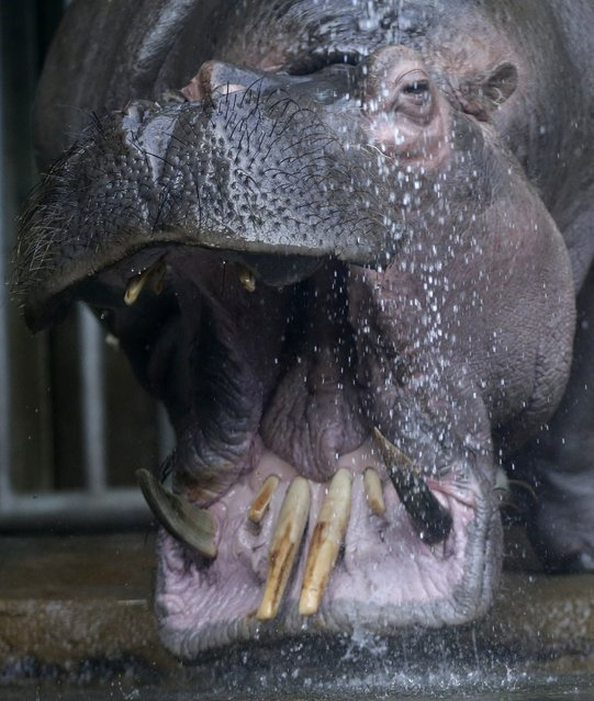 A hippo named Slavek is sprayed with water in  its enclosure at the zoo in Prague, Czech Republic, Wednesday, February 24, 2016. (Photo by Petr David Josek/AP Photo)