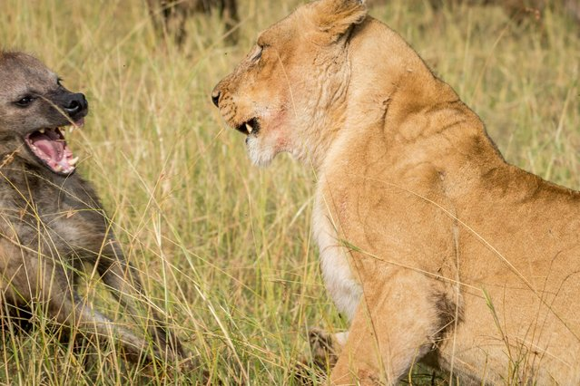 Hyena and lioness face-off with one another ,in Masai Mara, Kenya, August 2015. (Photo by Ingo Gerlach/Barcroft Images)