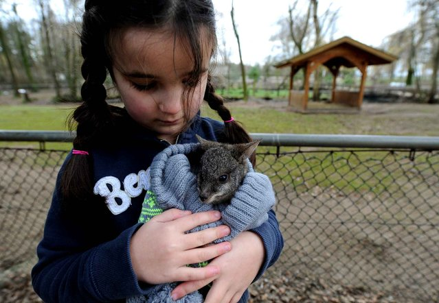"""Six-years old Lina Ismer, daughter of the Tierpark Stroehen animal park director, holds baby kangaroo """"Karl Friedelich"""" in a woolen cap on January 2, 2014 in Stroehen, northwestern Germany. After the little kangaroo's mother had died, """"Karl Friedelich"""" is raised by hand now by the animal park director's family. (Photo by Ingo Wagner/AFP Photo/DPA)"""