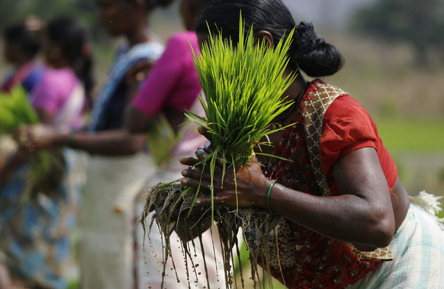 A laborer ties a bundle of rice saplings as others plant them in another field in Karjat, India, March 1, 2016. (Photo by Danish Siddiqui/Reuters)