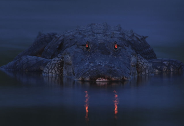 "An alligator takes a break in Florida's Myakka River State Park in Sarasota after gorging on fish stranded in shallow pools left behind as water from the river receded. ""It wasn't going anywhere in a hurry"", photographer Larry Lynch said in a statement. To get the picture, titled ""Warning Night Light"", Lynch set up his camera about 20 feet (7 meters) from the alligator. (Photo by Larry Lynch)"