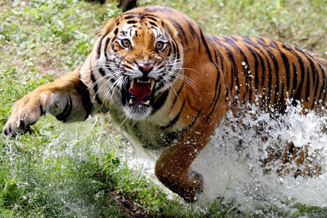 A Bengal tigress who gave birth to four cubs at the Guadalajara Zoo, Jalisco state, Mexico runs at the zoo on October 5, 2021. (Photo by Ulises Ruiz/AFP Photo)