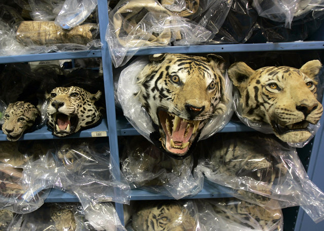 A collection of cat rugs are placed on the shelves at the U.S. Fish and Wildlife Service Wildlife Property Repository in Commerce City, Colorado March 22, 2007. On the shelves are (L-R) a leopard, a clouded leopard, a leopard and two tigers. (Photo by Rick Wilking/Reuters)