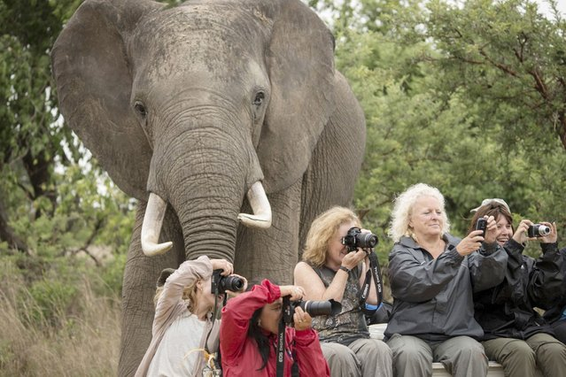 Animal photobomb: elephant sneaks into picture as Brit tourists pose for holiday snap in Zimbabwe. (Photo by Marcus Söderlund/Barcroft Media)