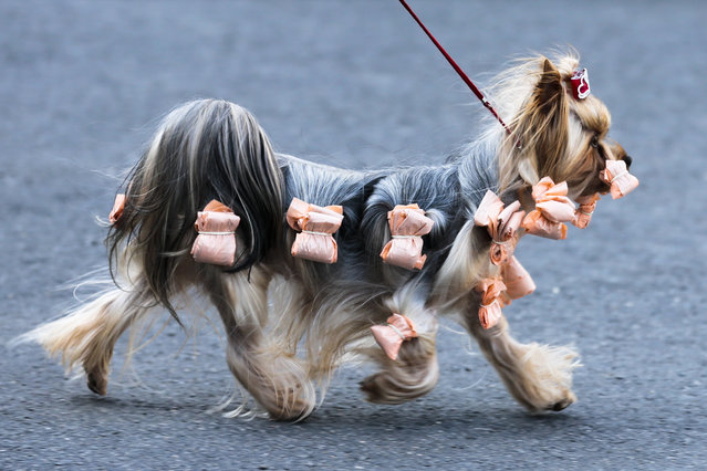 A Yorkshire Terrier leaves the hall  during an International dog show in Schoenefeld near Berlin, Germany, Sunday, March 30, 2014. (Photo by Markus Schreiber/AP Photo)