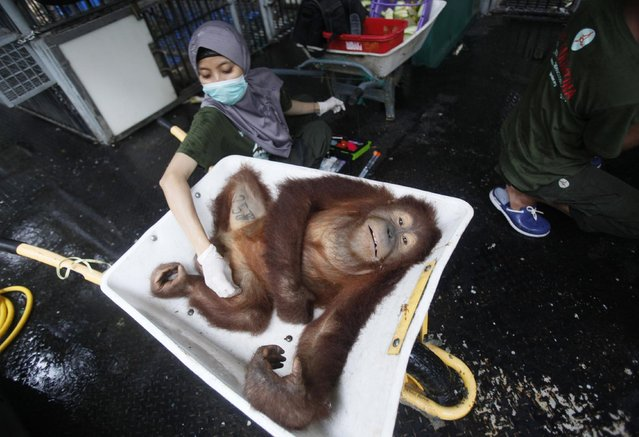 A worker of Sumatran Orangutan Conservation Programme examines a tranquilized Sumatran orangutan as it is being prepared to be released into the wild at a rehabilitation center in Kuta Mbelin, North Sumatra, Indonesia, Friday, July 10, 2015. (Photo by Binsar Bakkara/AP Photo)