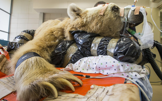 Mango, a 19-year-old male Syrian brown bear is sedated as he is prepared for an operation to treat a slipped disk (T2 and T3) at the Ramat Gan Safari park, near Tel Aviv, on May 7, 2014. This is reportedly the first operation of its kind ever to takeplace. (Photo by Jack Guez/AFP Photo)