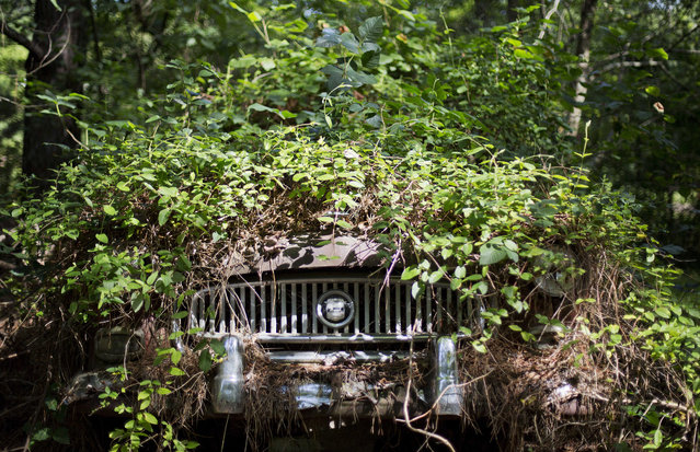 Trees grow over a car at Old Car City, the world's largest known classic car junkyard Thursday, July 16, 2015, in White, Ga. Over 4,000 classic cars decorate 32 acres of forest which have been turned into a junkyard museum by owner Walter Dean Lewis. (Photo by David Goldman/AP Photo)