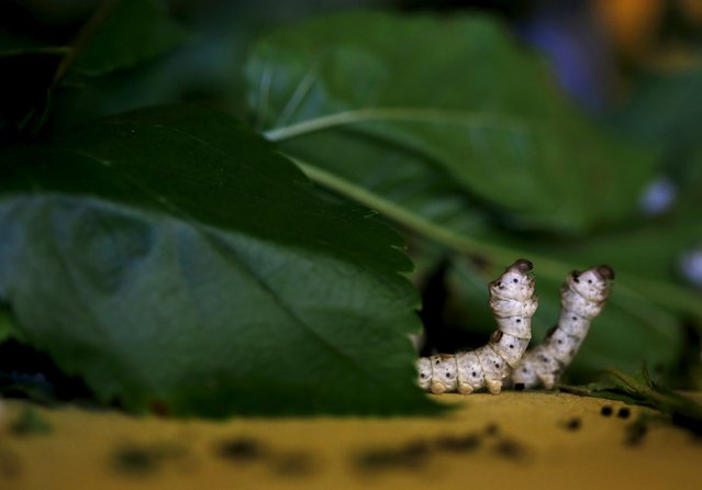 Two late-developing silkworms are seen as they munch on piles of locally-grown mulberry at the CRA agricultural research unit in Padua, Italy, June 4, 2015. (Photo by Alessandro Bianchi/Reuters)