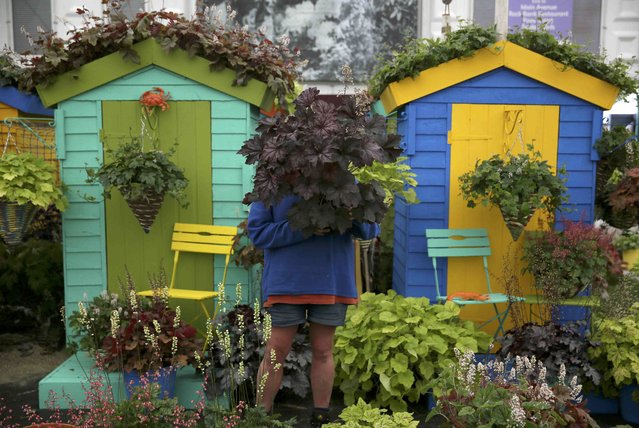 A woman works on a display during preparations for the RHS Chelsea Flower Show in London, Britain May 21, 2016. (Photo by Neil Hall/Reuters)