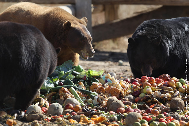 Rescued brown and black bears feed at The Wild Animal Sanctuary