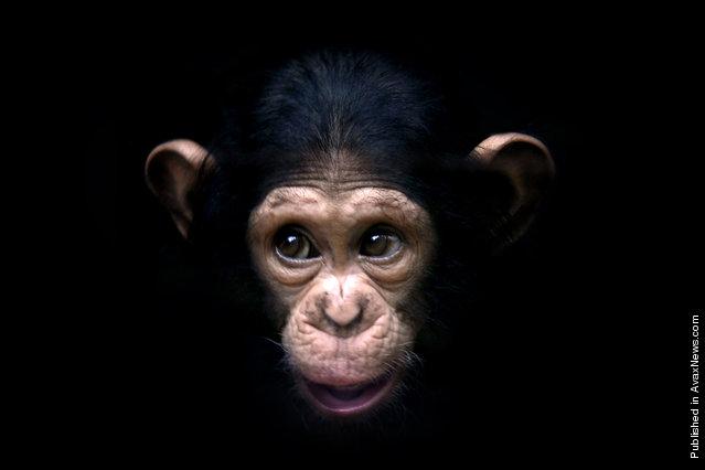 Chimpanzee, April 12, 2006