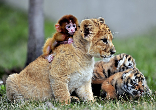 A baby monkey, a lion cub and tiger cubs play at the Guaipo Manchurian Tiger Park in Shenyang, Liaoning Province, May 1, 2013. (Photo by Reuters/China Stringer Network)