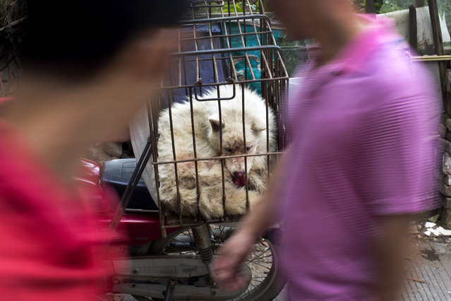 People walk past a dog in a cage for sale at a market during a dog meat festival in Yulin in south China's Guangxi Zhuang Autonomous Region, Tuesday, June 21, 2016. (Photo by Andy Wong/AP Photo)