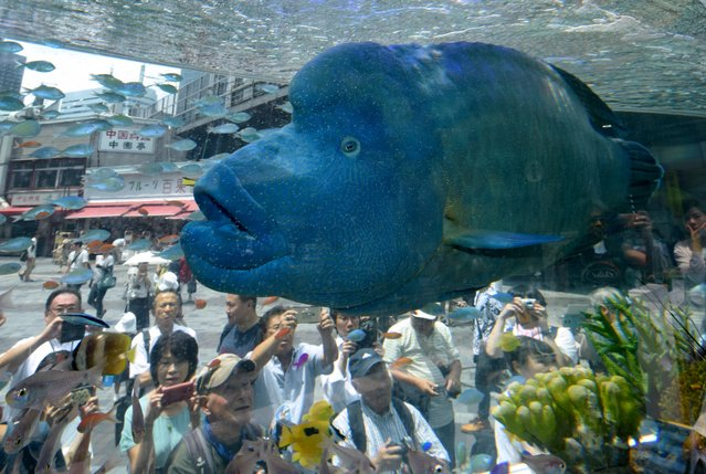 A humpead wrasse, transported from Japan's southern island of Okinawa, swims with other tropical saltwater fish on display in a tank for the Sony Aquarium 2017 exhibition in Tokyo on July 31, 2017. The Sony Aquarium 2017 exhibition, featuring marine life common to the waters around Okinawa, runs until August 13. (Photo by Kazuhiro Nogi/AFP Photo)